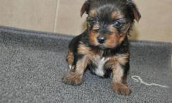 Registered male and female Yorkie Puppies Ready