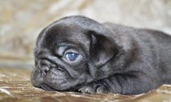 Registered Purebred Black Male Pug Puppy