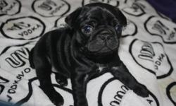 Registered Purebred Black Pug