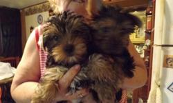 Registered teacup Yorkie puppies for sale