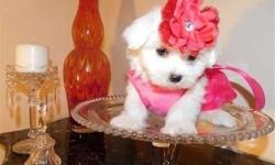 Remarkable TEACUP Maltese Puppies