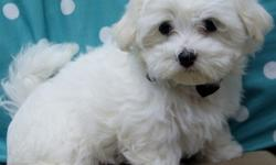 rewsaz Family Raised MF Maltese Puppies Available For