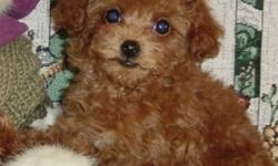 ri ki Toy Poodle puppies ready for sale
