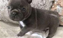 Rimm Blue French Bulldog Puppies