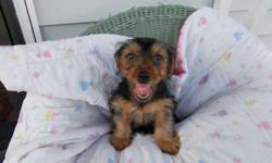 Rocky the ckc registered yorkie puppy
