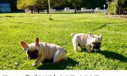Rossies French bulldog puppy for sale