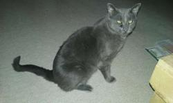 Russian Blue - 3 yo neutered male