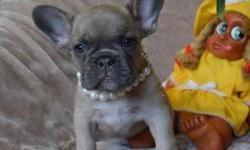 Sammp Trained French Bulldog Puppies