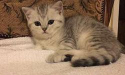 Scottish Fold Purebred Kittens Available For Reservation
