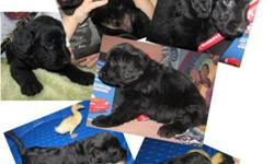 Scout ~ The Labradoodle Baby