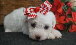 sdc Bichon Frise Puppies for Sale