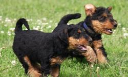 sdfdfd Excellent Airedale terrier Puppies for sale