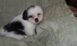 sdfgsg Shih Tzu puppies for sale