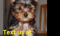 .sefgs Yorkie Puppies for Sale