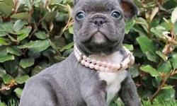 Serene Blue French Bulldog Puppies