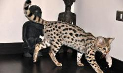 Serval exotic kittens for sale