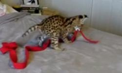 Serval kittens for sale only in the usa