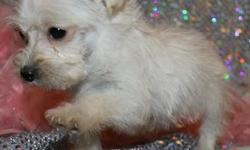 sfhhqw Pure bred registered Maltese