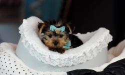 sh,, yorkie puppies for sale