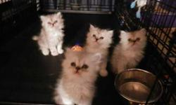 Shaded Silver Female Persian Kitten - Only 1 Left