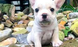 Sharp Blue French Bulldog Puppies