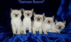 siamese kittens for sale in chesaning mi