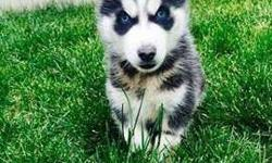 Siberian Husky Puppies--