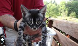 Silver Charcoal Bengal Kitten