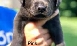Silver & Charcoal Female Labrador Puppies