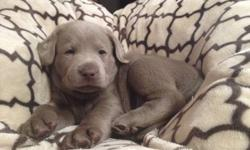 Silver Labrador Puppies