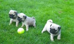 Sin Awesome Pug Puppies