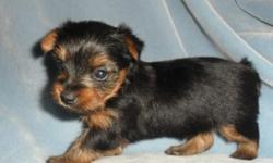 Small AKC Yorkie Female