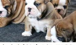 Smart English Bulldog Puppies