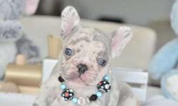 Smooke Blue French Bulldog Puppies