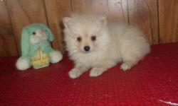 Snow white Teacup Pomeranian Pups For Sale