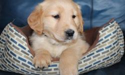 socialized boy and girl Golden Retriever Puppies for Sale