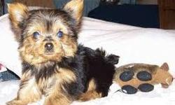 socialized Yorkie puppies for sale