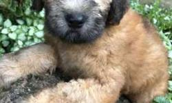 Soft coated wheaten terrier male and female
