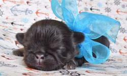 Solid Liver Imperial Shih-Tzu Puppy