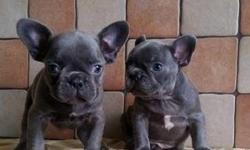 Sparkling* Akc Blue French Bulldog Puppies