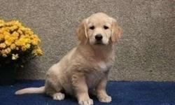 Sparkling* Akc Golden Retriever Puppies