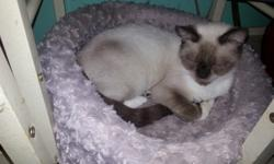 Spayed female Siamese & Intact Snowshoe pair