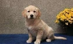Spectacular* Akc Golden Retriever Puppies