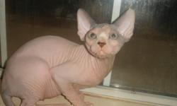 SPHYNX FEMALE KITTEN ....Ready to Go