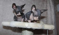 Sphynx kittens For Sale