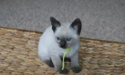 Splendid and cute Siamese kittens For Sale