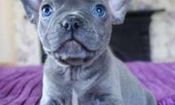 Sqis Blue French Bulldog Puppies