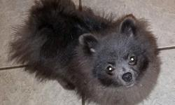 Stryker- gorgeous light blue male Pomeranian