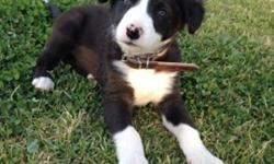 .Stunning Purebred Border Collie Puppies for sale