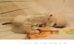 stunning Scottish fold and straight kittens